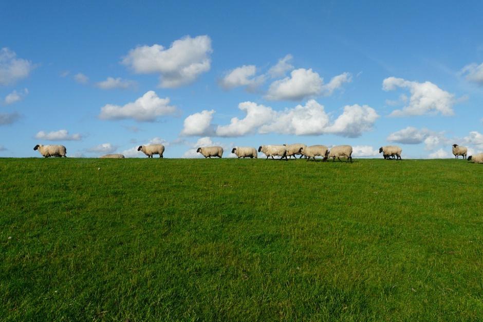 Stado owiec przy osiedlu mieszkaniowym?