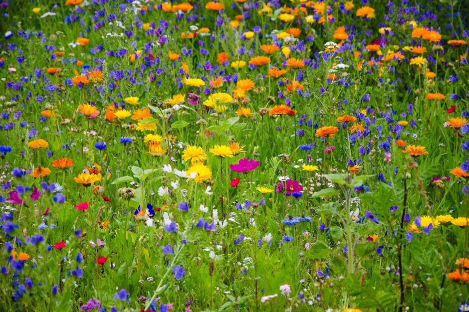 Kalisz zakwitnie. Miasto rozda mieszkańcom nasiona łąk kwietnych i traw
